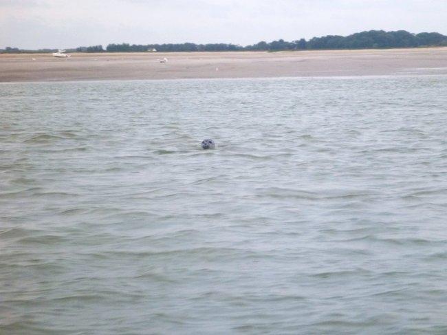 phoque baie de somme - dans l eau