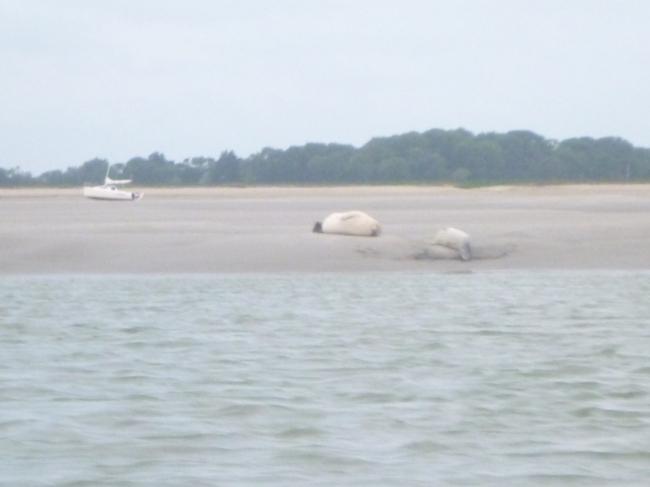 phoques baie de somme - sur un banc de sable