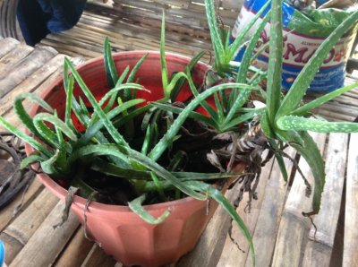 Une Aloe Vera en pot