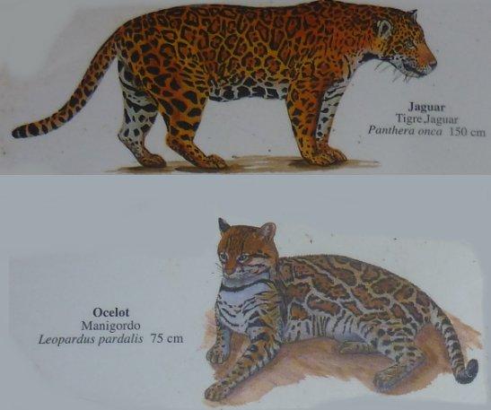 Stage de survie jungle - Jaguar et ocelot