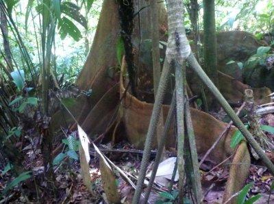 """Une arbre aux racines """"parois"""" (derrière), un palmier à piquants (sombre au centre), et un palmier qui marche (devant à droite)"""