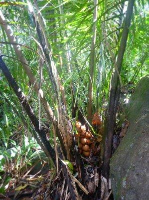 Petit palmier à huile