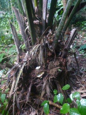 Graines de tagua dans sa coque, au pied du palmier