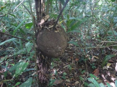 Stage de survie jungle - Termitière palmier